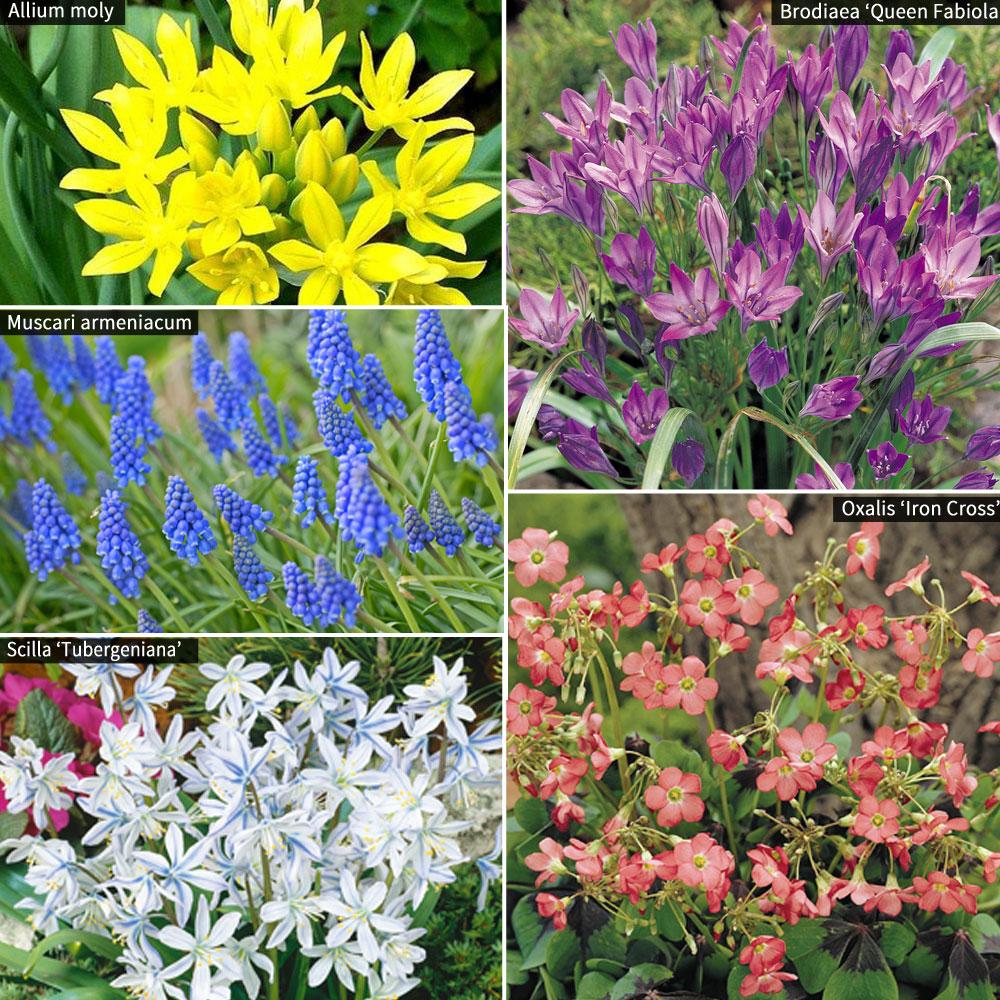 Image of 300 Spring Flowering Bulbs