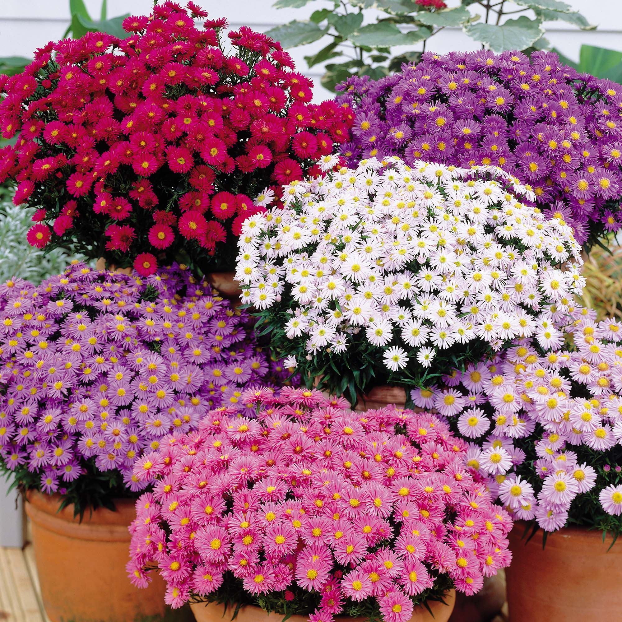 Image of Aster dumosus Collection