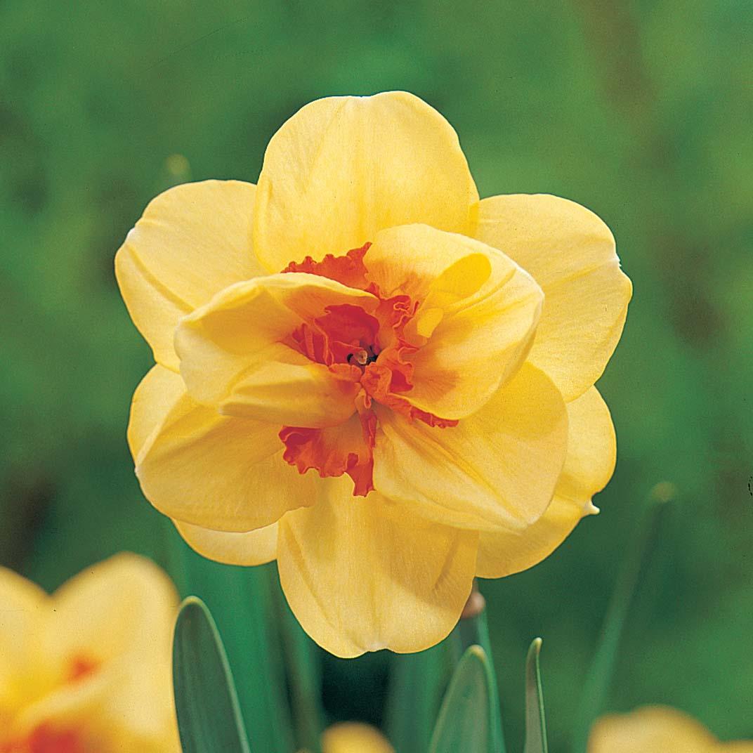 Image of Daffodil 'Tahiti'