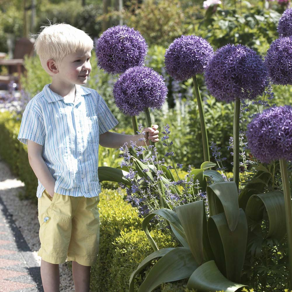 Image of Allium 'Globemaster'