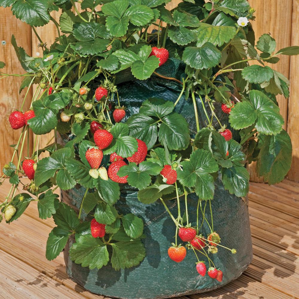Image of Strawberry Planter