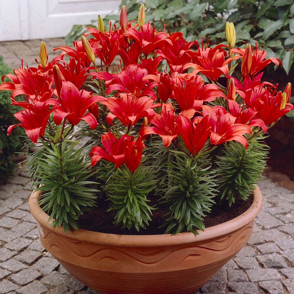 Image of Lily 'Red Carpet'