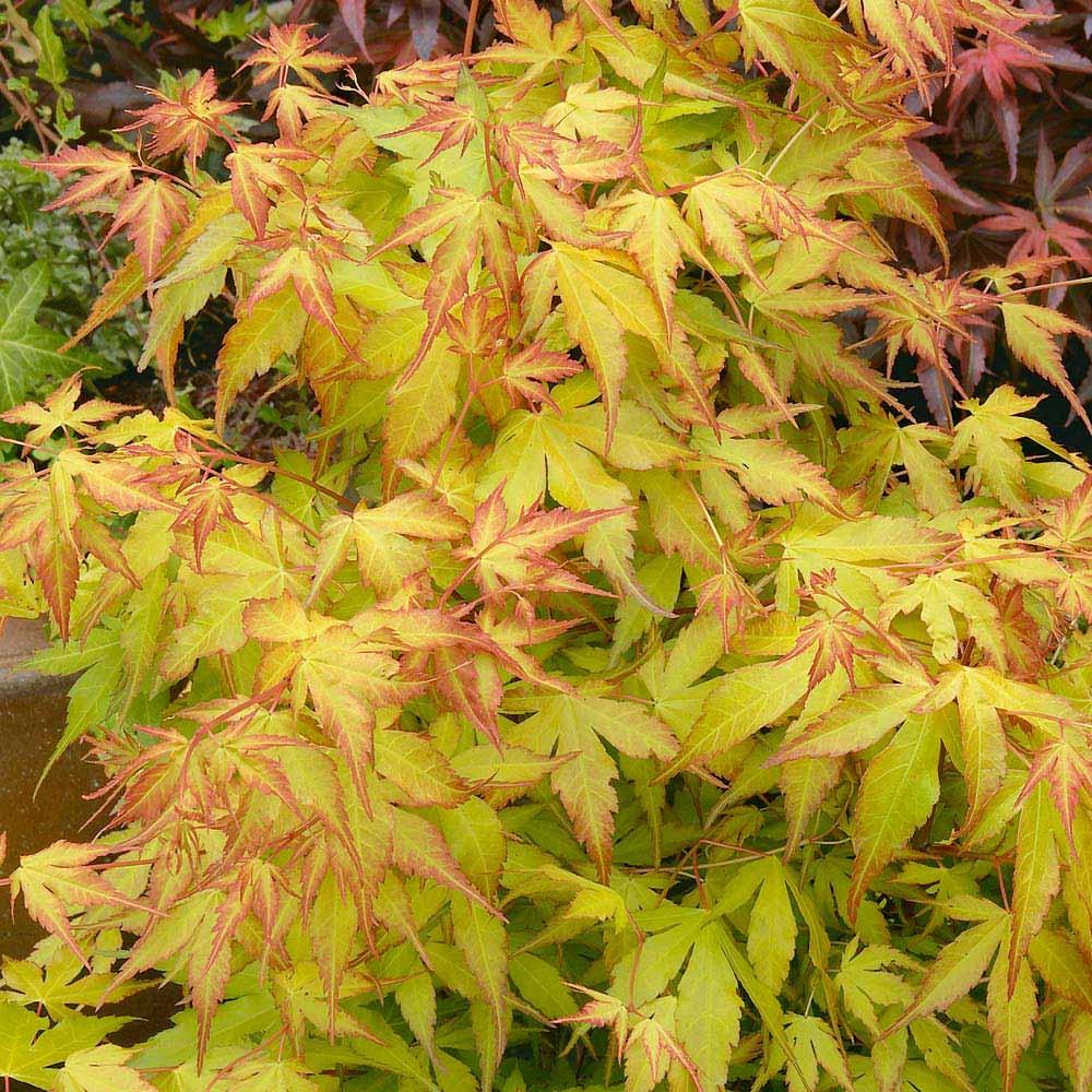 Image of Acer palmatum 'Katsura'