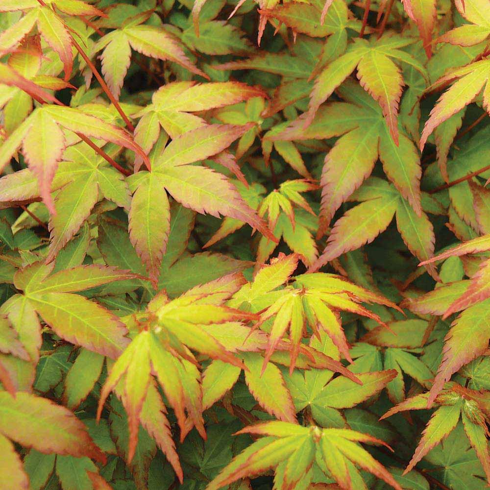 Image of Acer palmatum 'Little Princess'