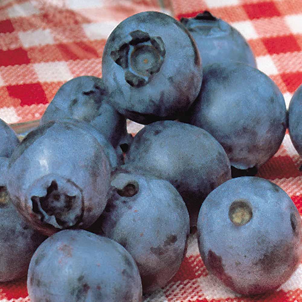 Image of Blueberry 'Powder Blue'