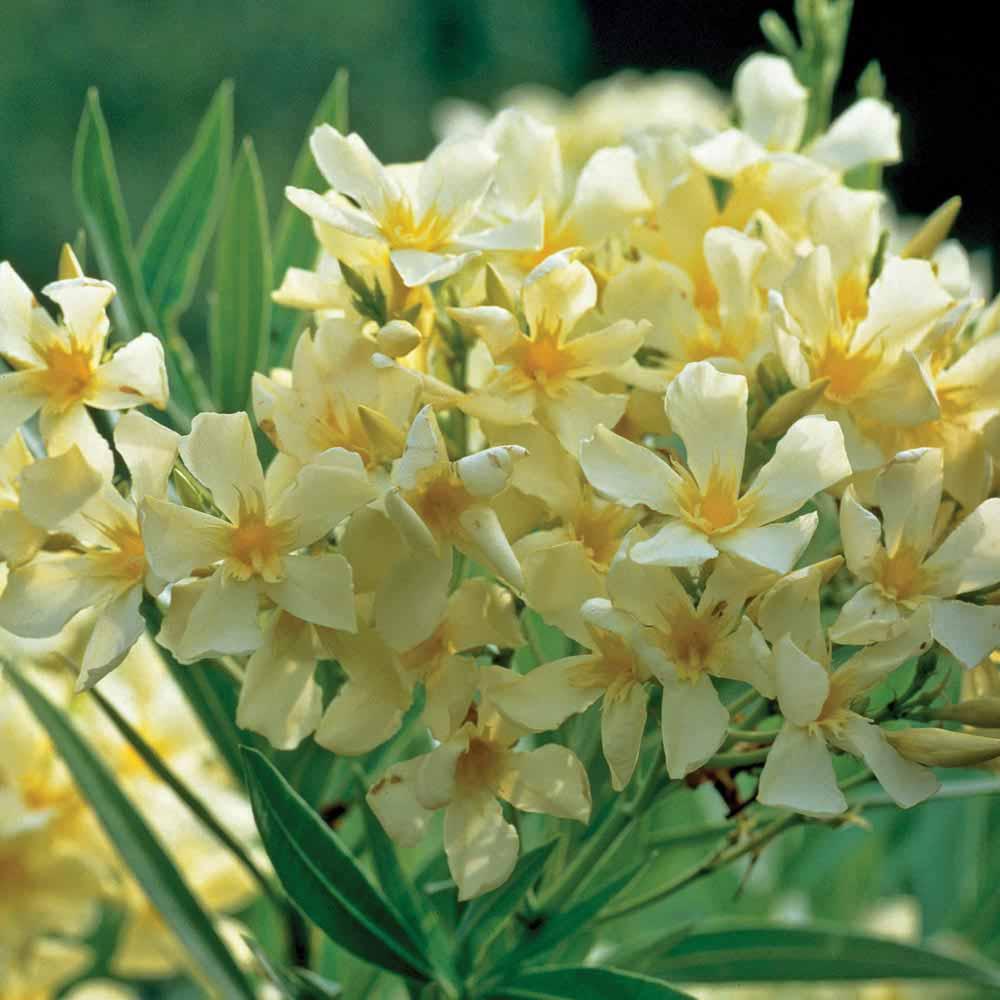 Oleander 'Yellow'