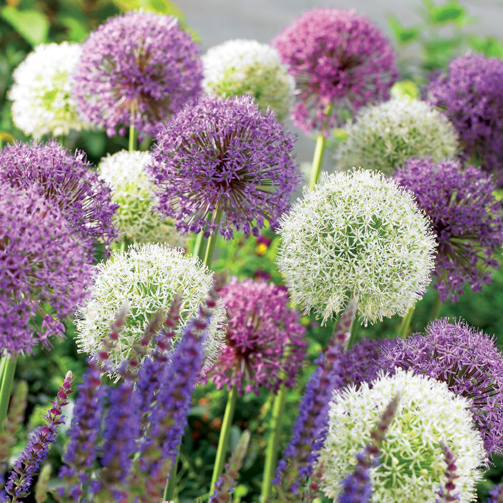 Image of Allium 'Big Impact Mix'