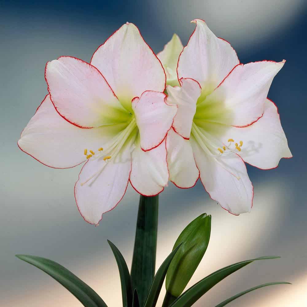 Image of Amaryllis 'Picotee'