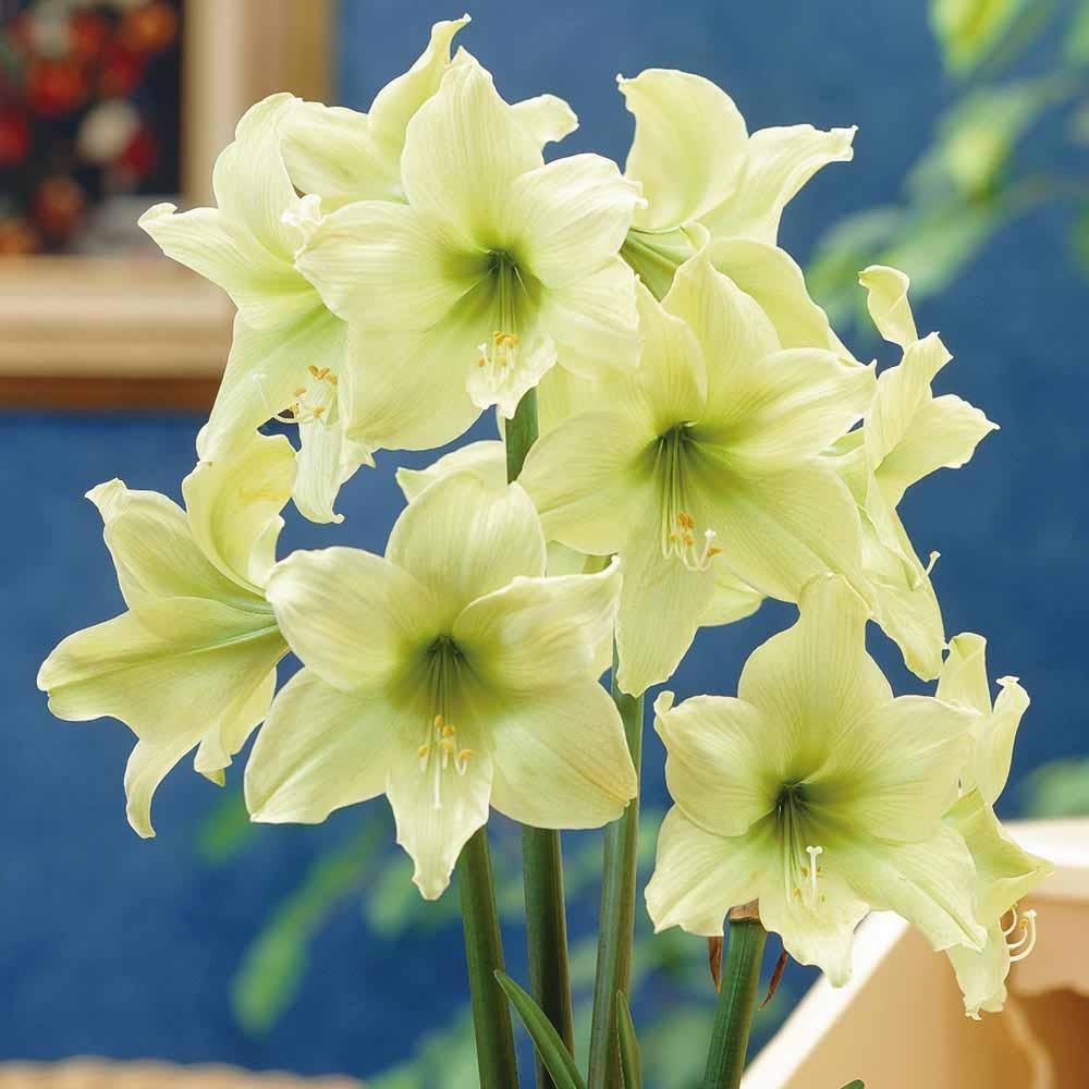Image of Amaryllis 'Lemon Star'