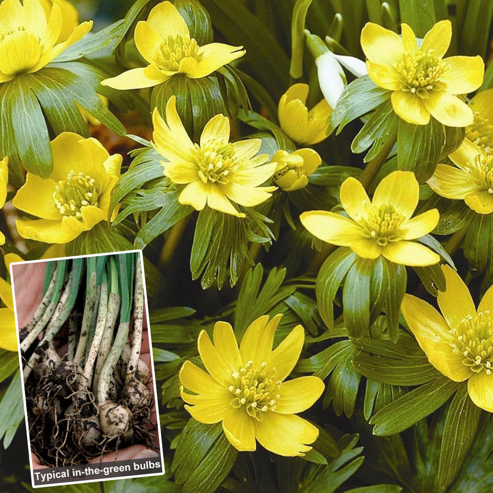 Aconite in the green