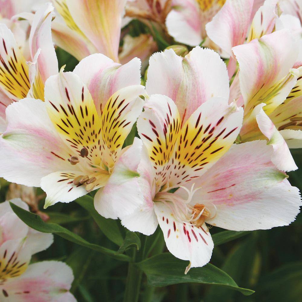 Image of Alstroemeria 'Rivale'
