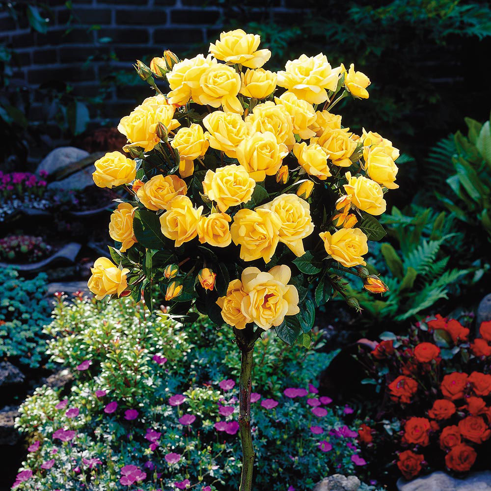 Rose Standard Yellow (40cm stem)