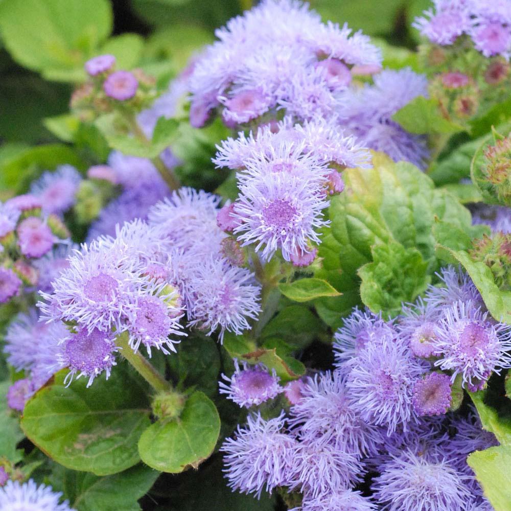 Image of Ageratum houstonianum 'Blue Mink' (Seeds)