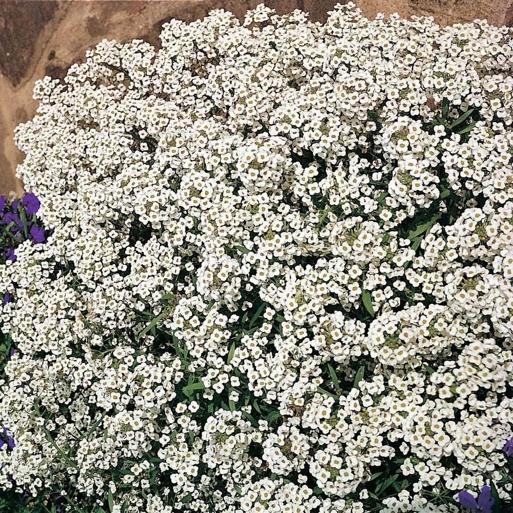 Image of Alyssum 'Carpet Of Snow' (Seeds)
