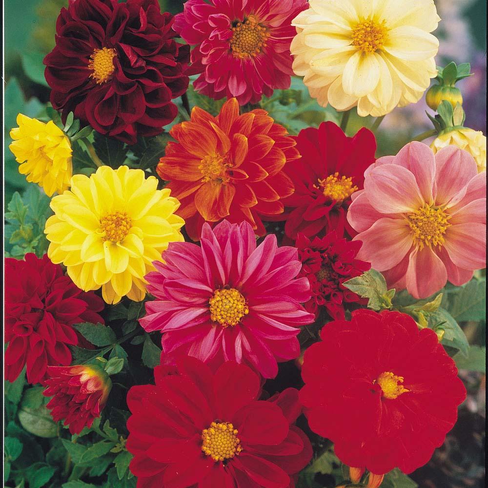Dahlia variabilis 'Dwarf Mixed' (Seeds)