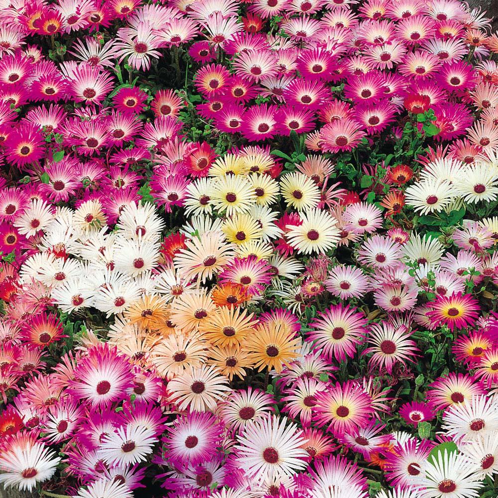 Image of Mesembryanthemum criniflorum 'Magic Carpet Mixed' (Seeds)
