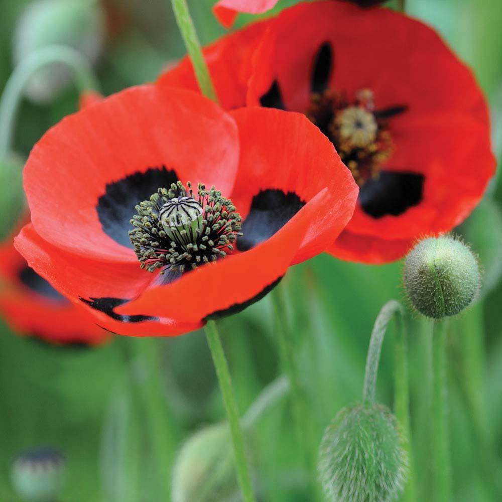 Poppy 'Ladybird' (Seeds)