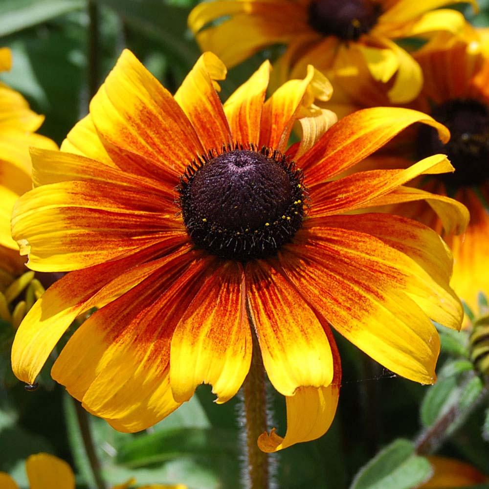 Rudbeckia hirta 'Marmalade' (Seeds)