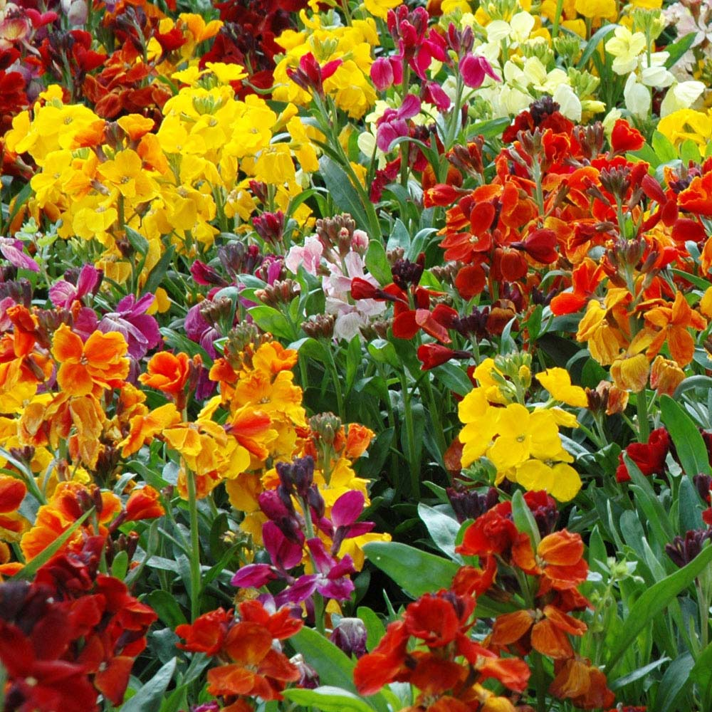 Image of Wallflower 'Persian Carpet Mix' (Seeds)