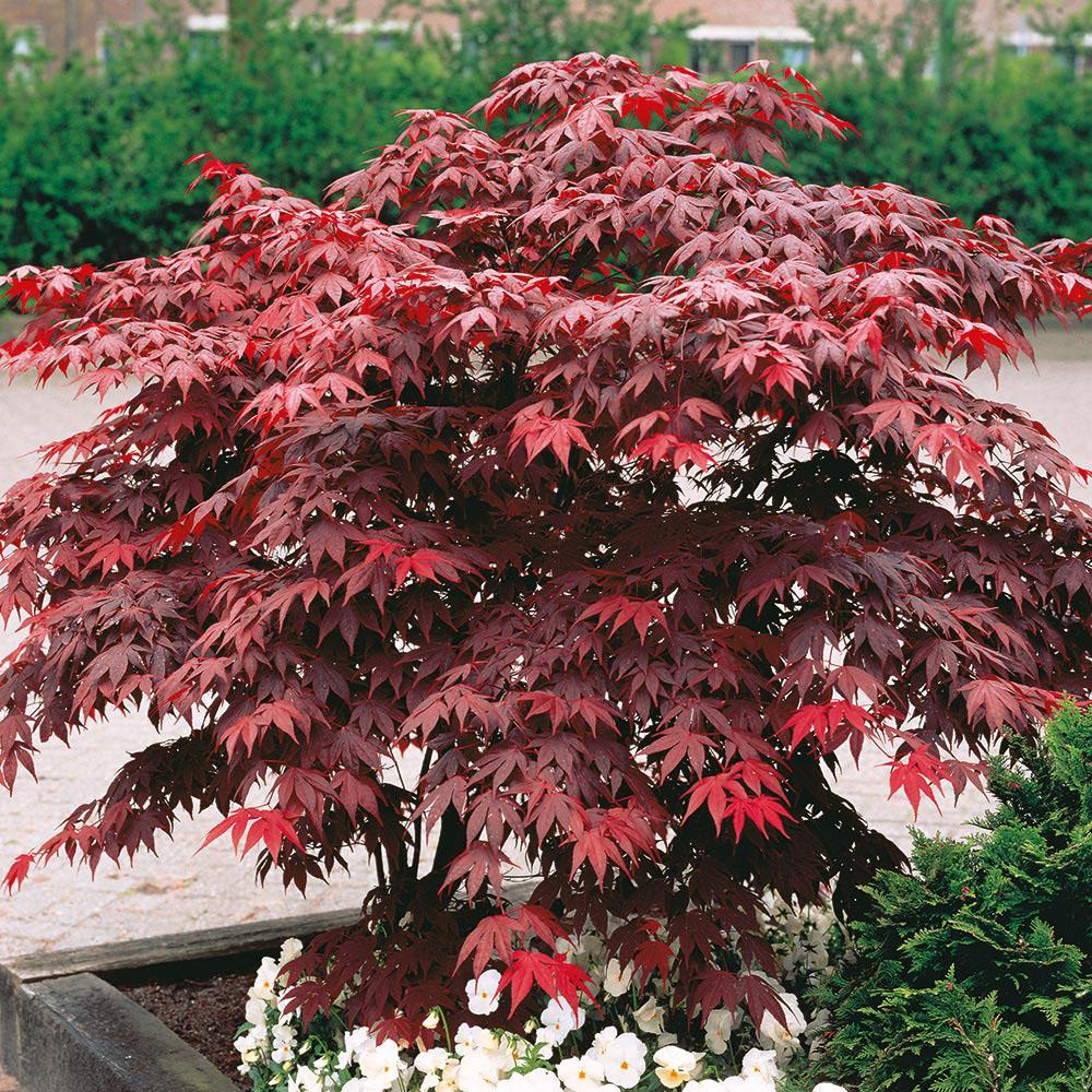 Image of Acer palmatum