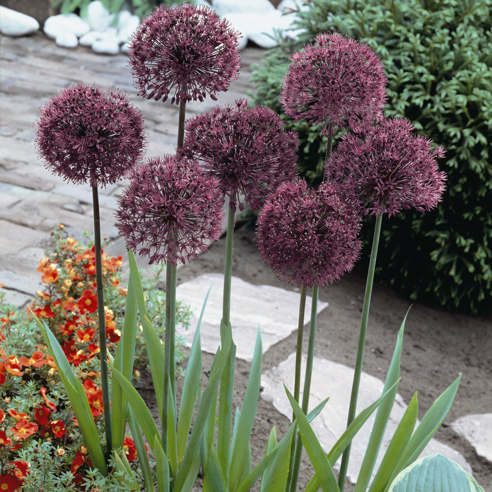 Image of Allium 'Gladiator'