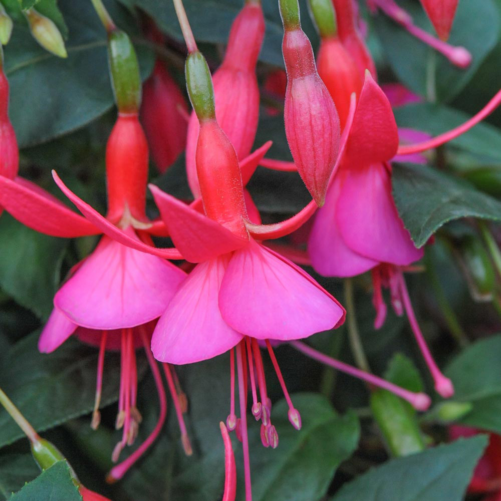 Fuchsia 'Display' (Hardy)