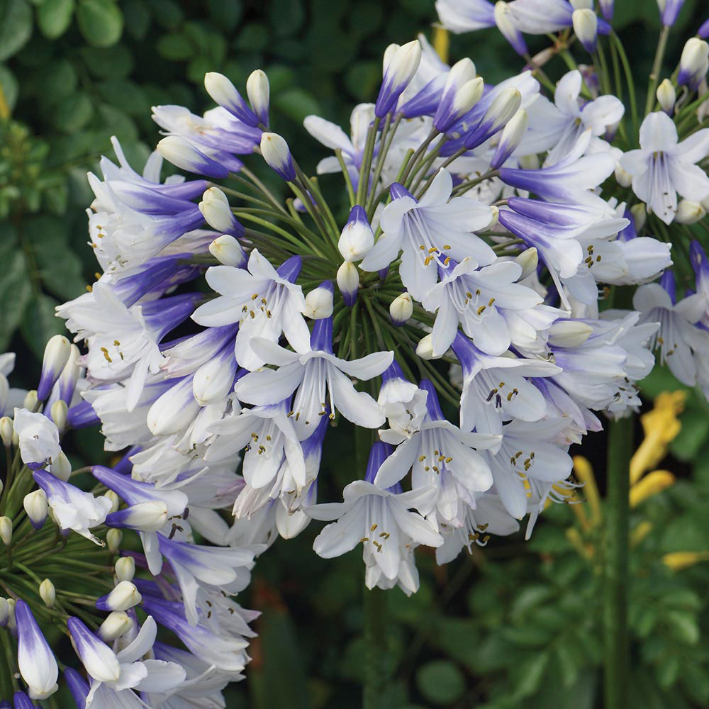 Image of Agapanthus 'Twister'