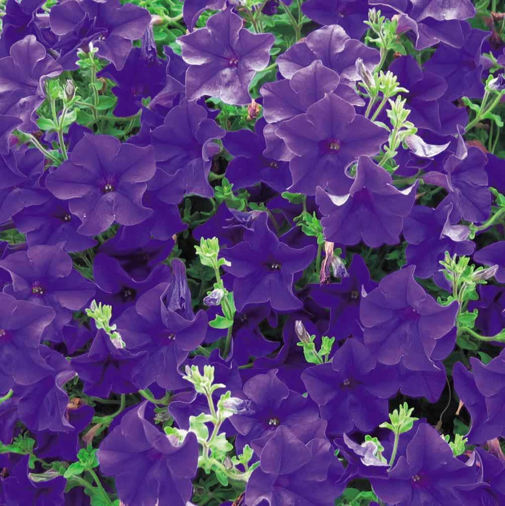 Petunia 'Surfinia Blue'