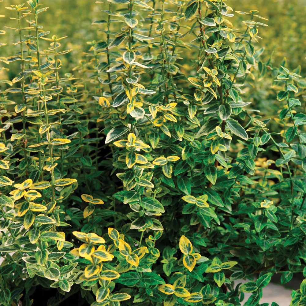 Image of Euonymus fortunei 'Emerald 'n' Gold'