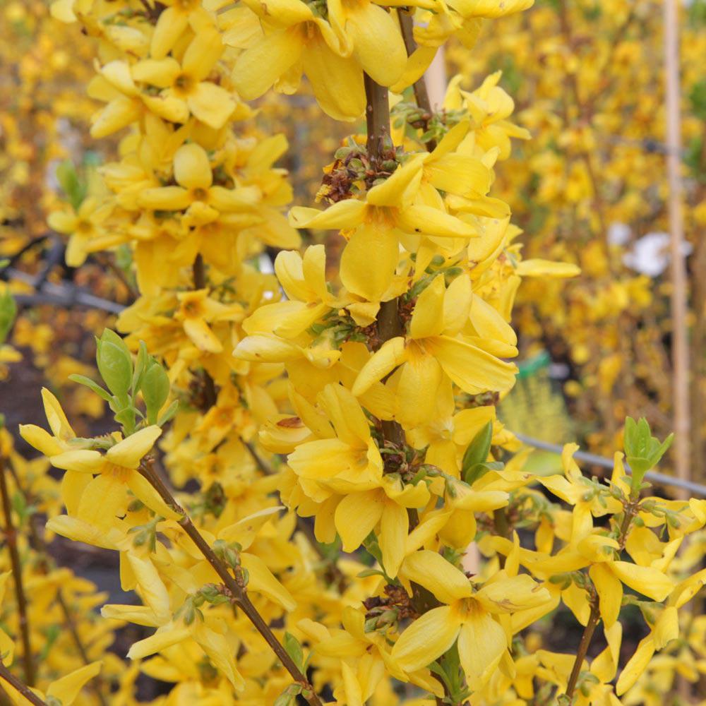 Forsythia x intermedia 'Goldrausch'