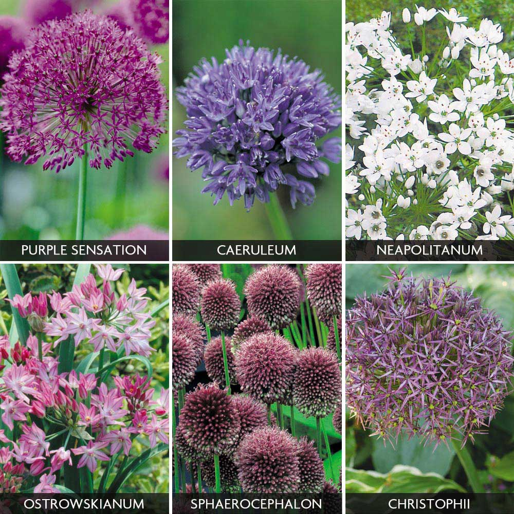 Image of Allium 'Best sellers Collection'