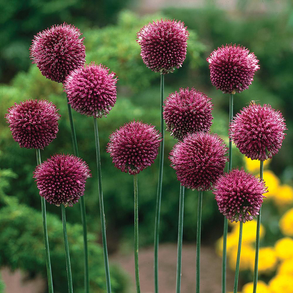 Image of Allium 'Drumstick'
