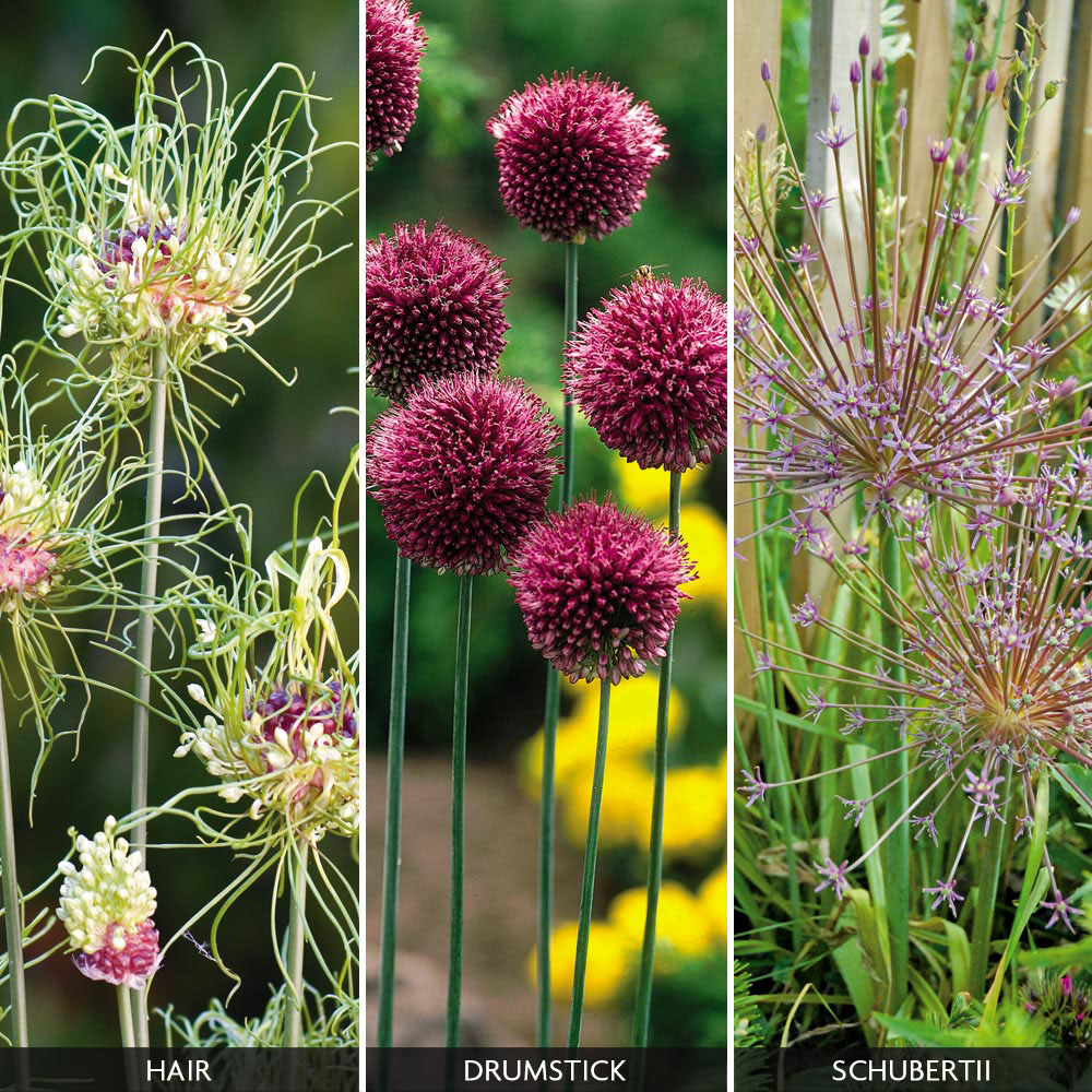 Image of Allium 'Hairy Collection'
