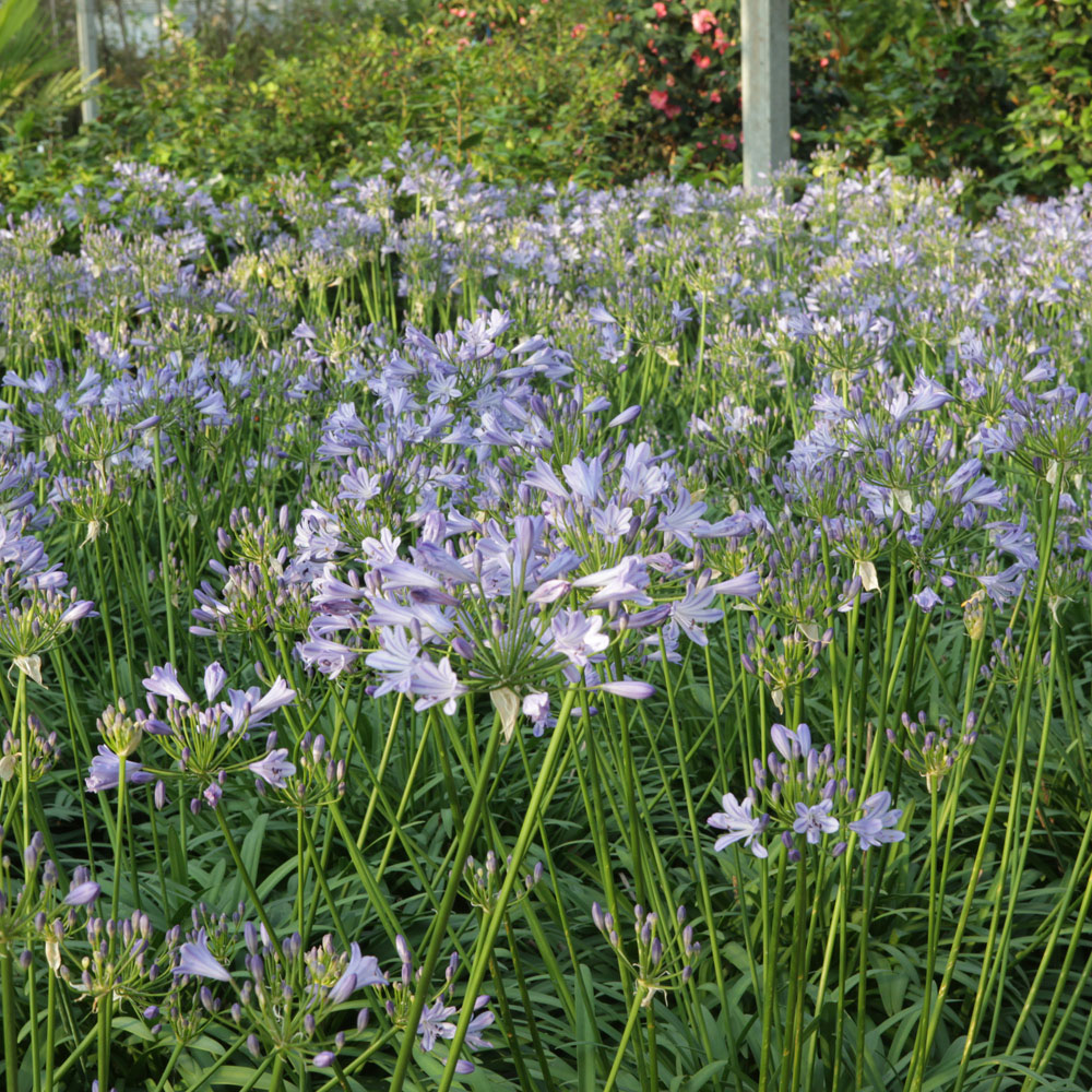 Image of Agapanthus 'Bluestorm'