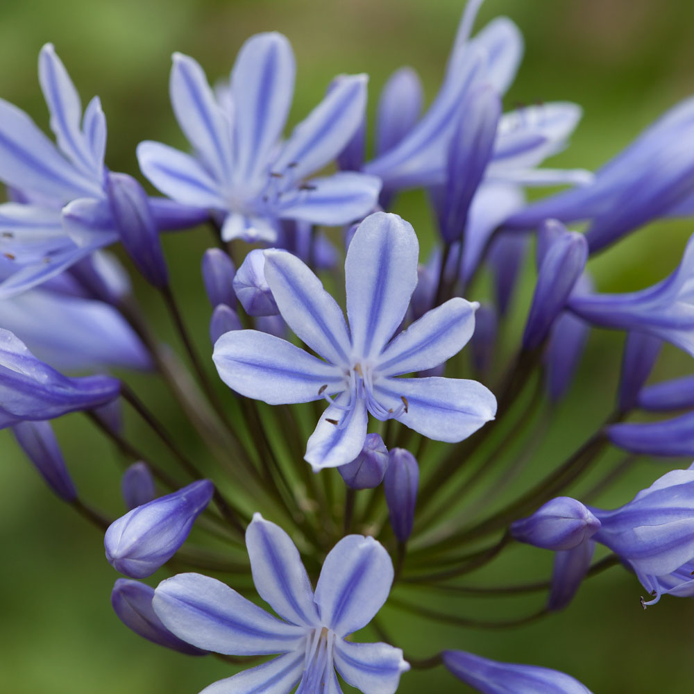 Image of Agapanthus 'Sweet Surprise'