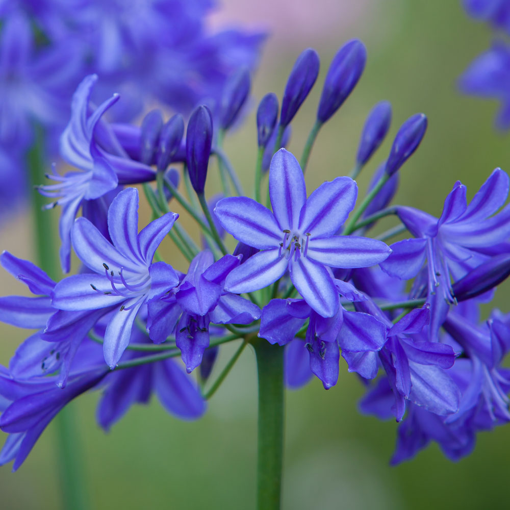 Image of Agapanthus 'Northern Star'
