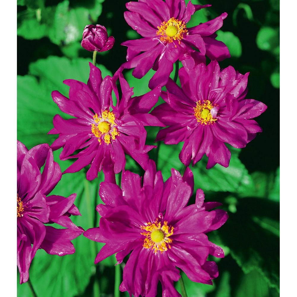 Image of Anemone hupehensis var. japonica 'Prinz Heinrich'