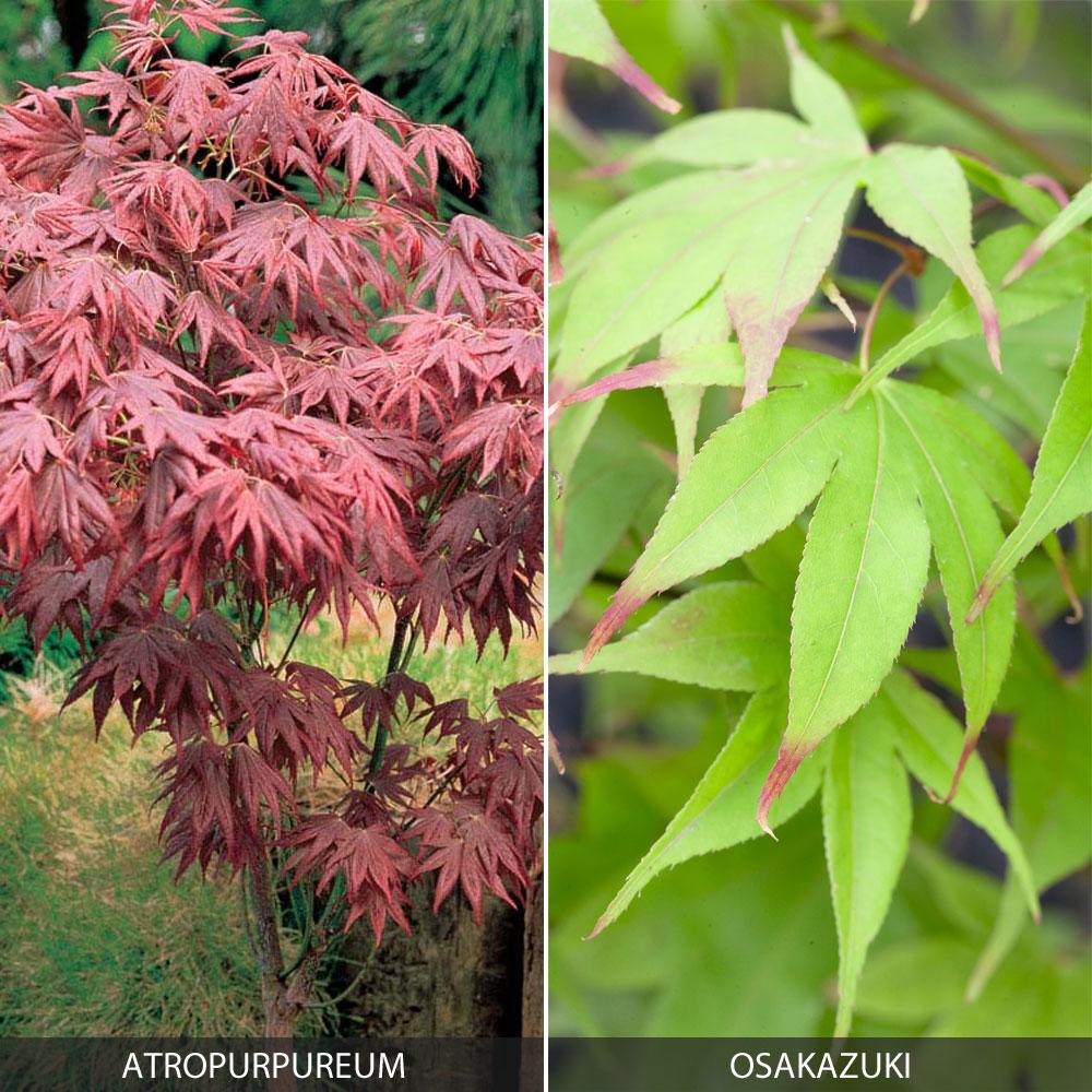 Image of Acer palmatum Duo