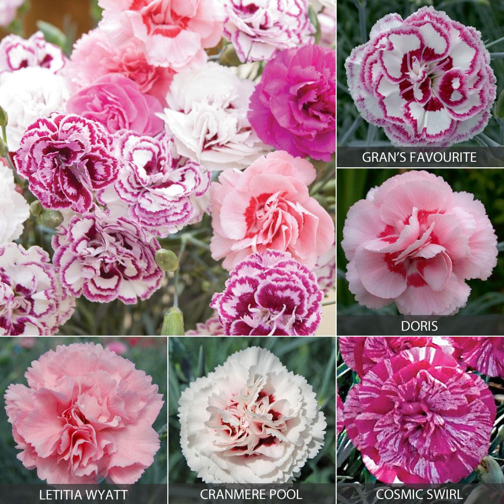 Image of Dianthus 'Cottage Garden Collection'