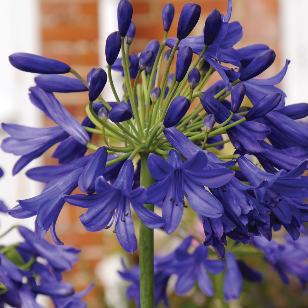 Image of Agapanthus 'Flower of Love'
