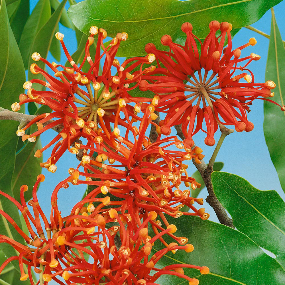 Stenocarpus 'Firewheel Tree'