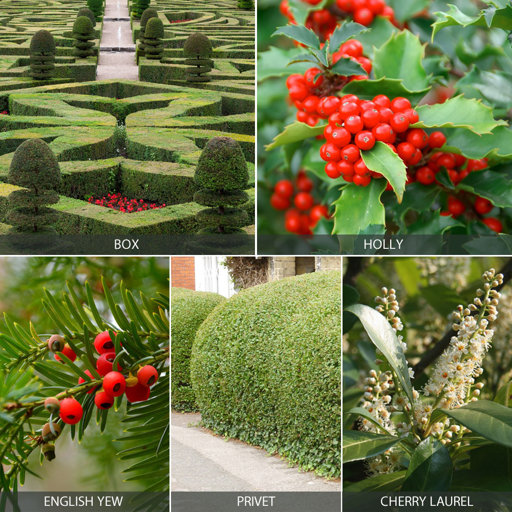 Evergreen Hedging Collection