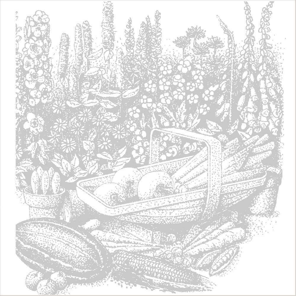 Echinops ritro (Large Plant)