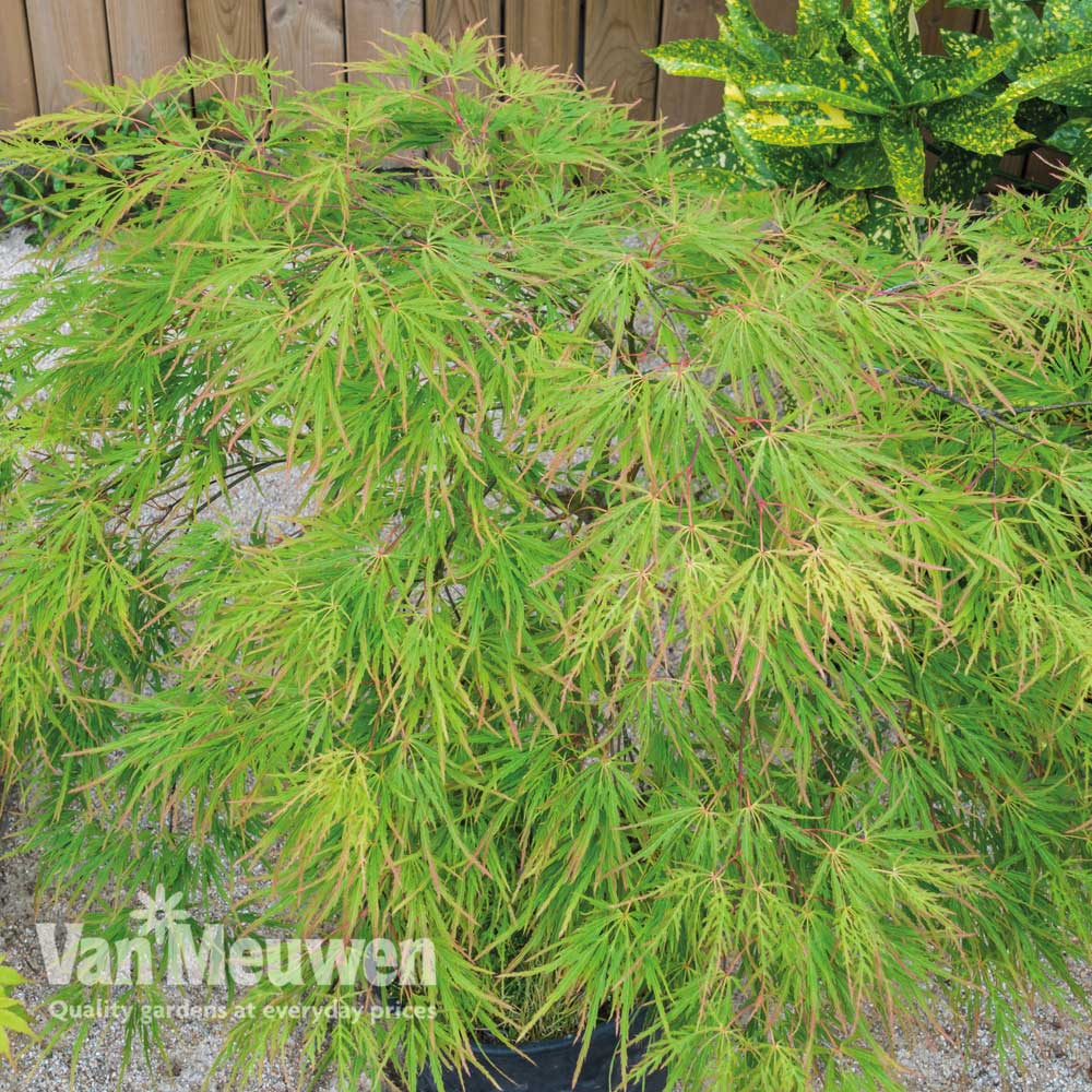 Image of Acer palmatum 'Seiryu'