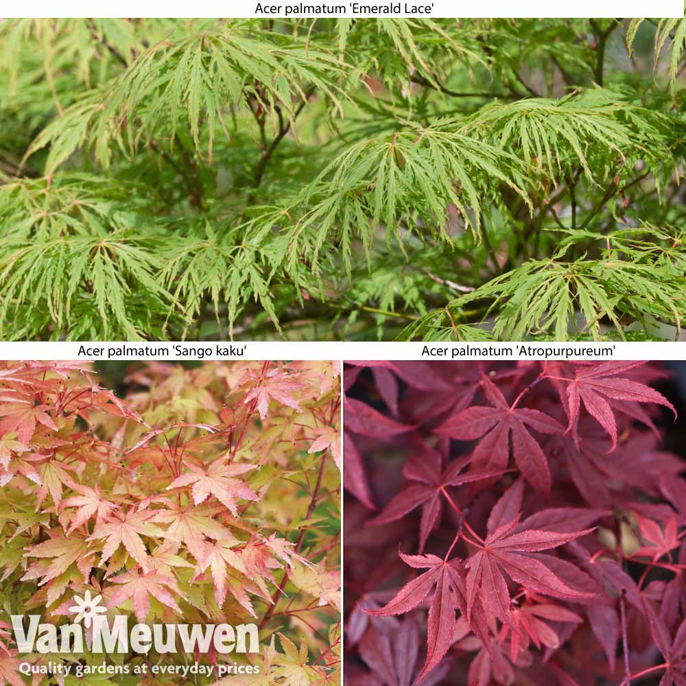 Image of Acer Collection