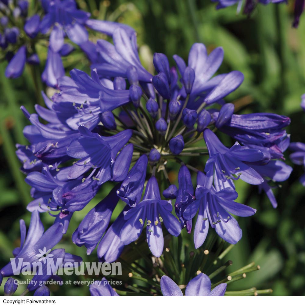 Image of Agapanthus 'Ever Sapphire'