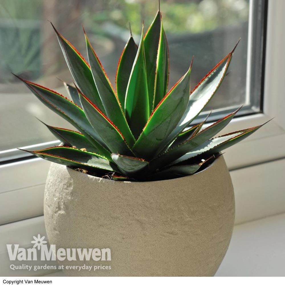 Image of Agave 'Shaka Zulu' (House Plant)
