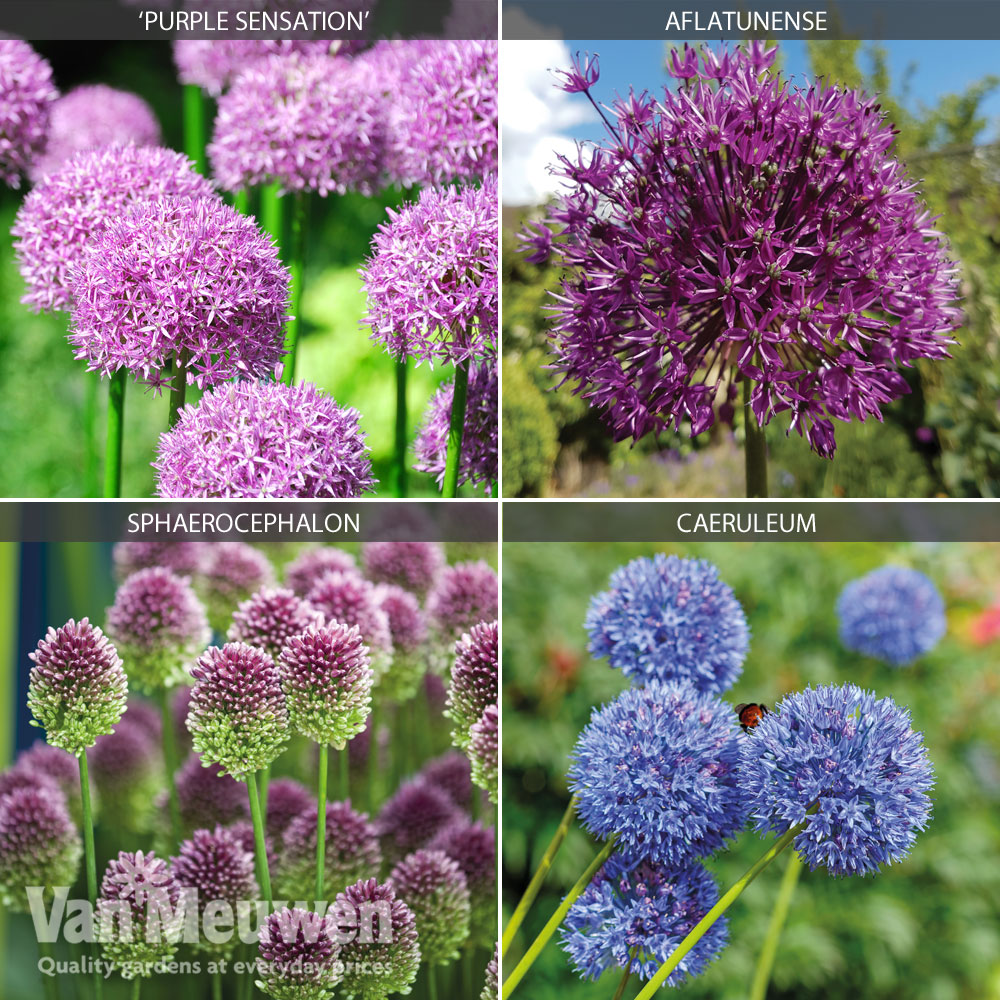 Image of Allium Collection