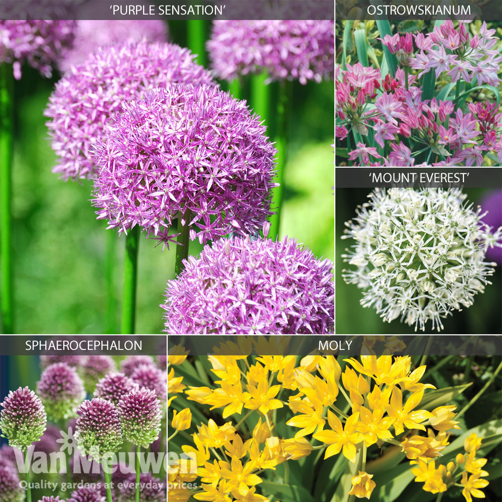 Image of Allium 'Cottage Garden Collection'