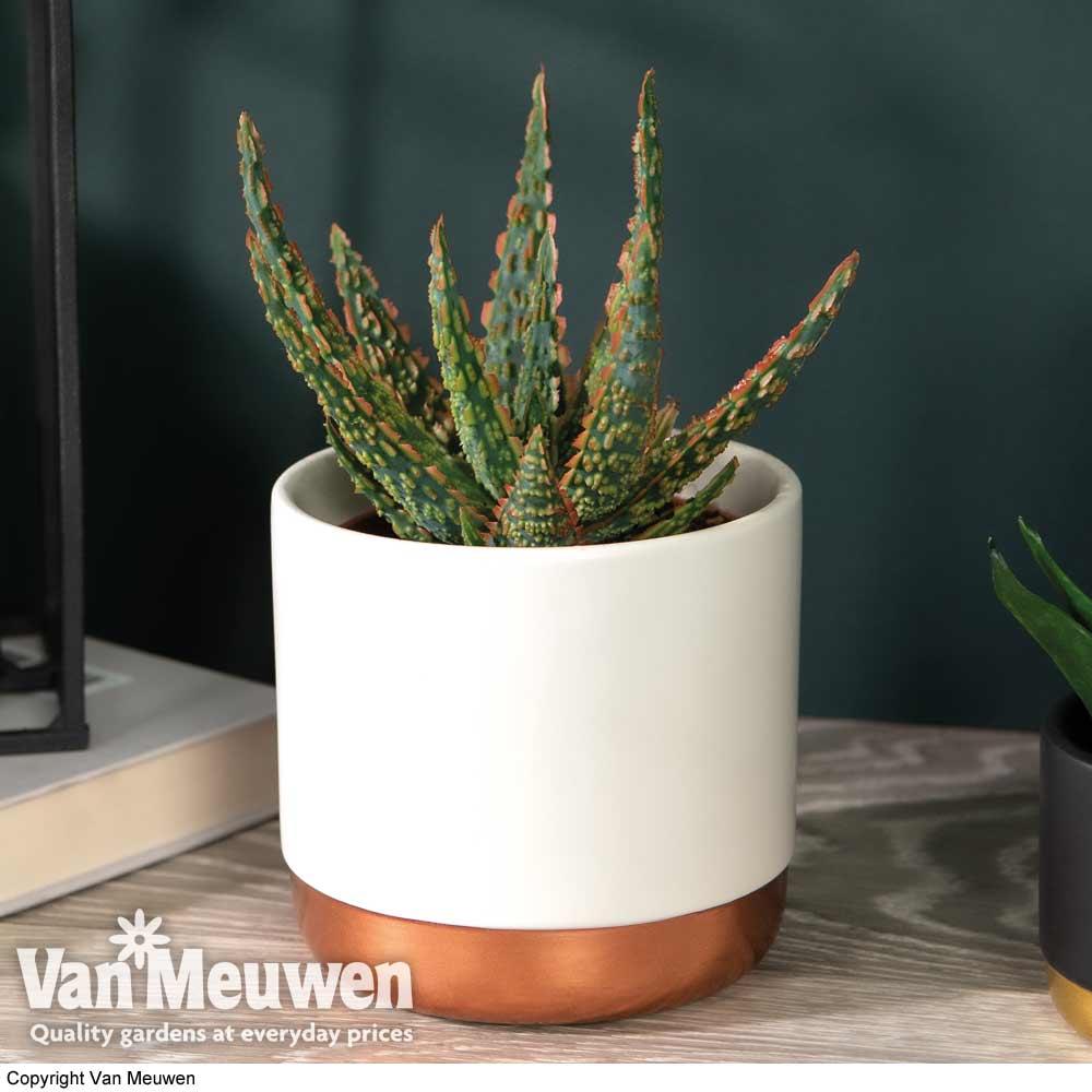 Image of Aloe zebrina 'Danyz' (House plant)